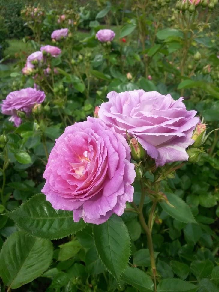 International Rose Garden Portland Oregon PDX